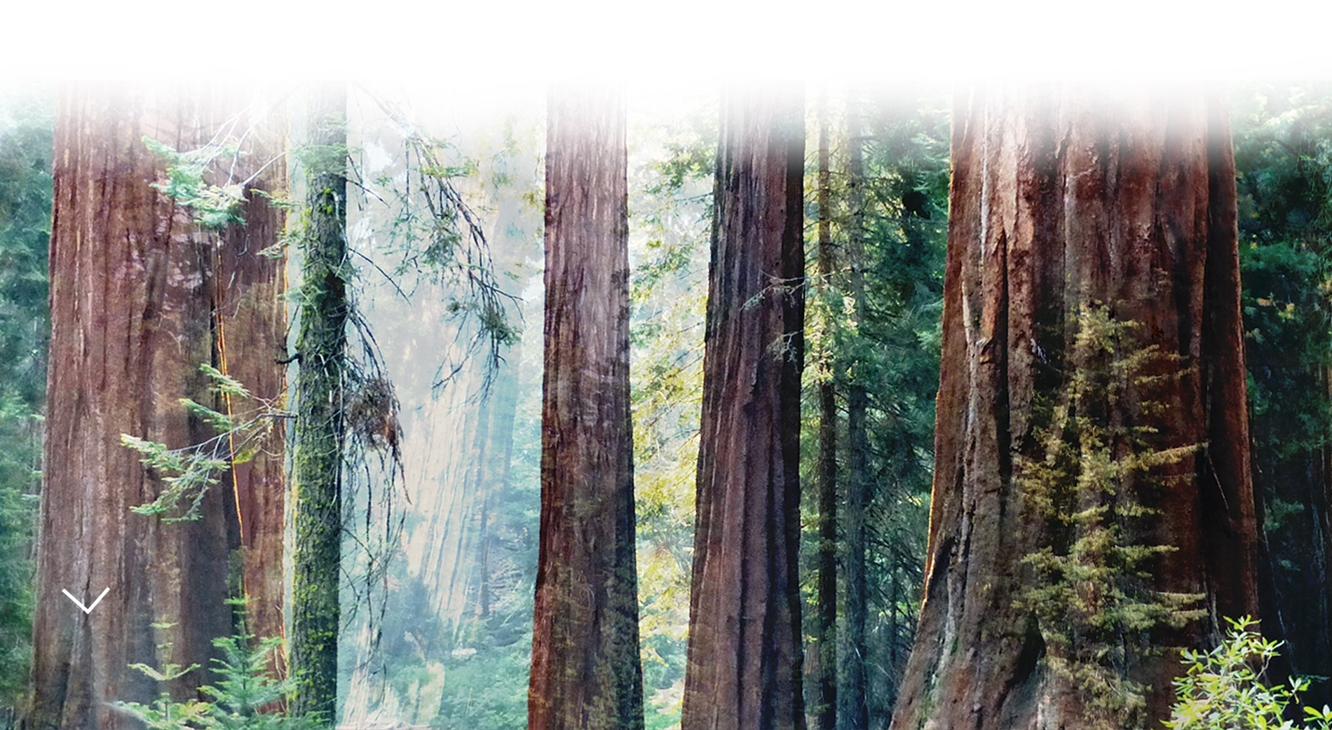 large sequoia trees in a forest